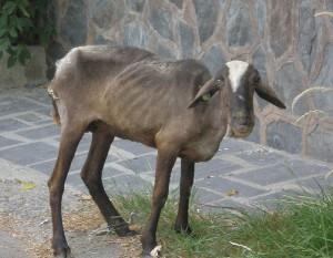 Una cabra sobrevive al verano andaluz